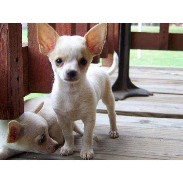 Cute teacup puppies for adoption