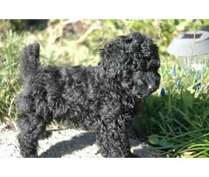 I Want An All Black Dog Either A Poodle Like This One Or A Poodle Mix Miniature Poodle Black All Black Dog Dogs