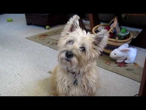 The Cairn Terrier Chronicles Pavlov Curious About Something Not