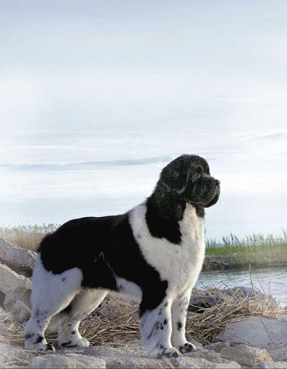Pin By Dog Breeds On Dogs In 2020 Newfoundland Dog Puppy Dog Breeds Landseer Dog