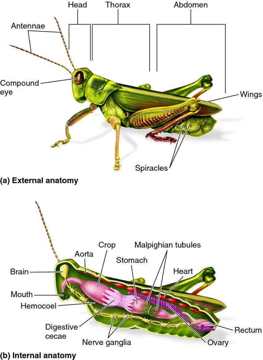 Template Grasshopper Dissection Diagram Labeled | insects DS2 | Diagram, Templates, Insects