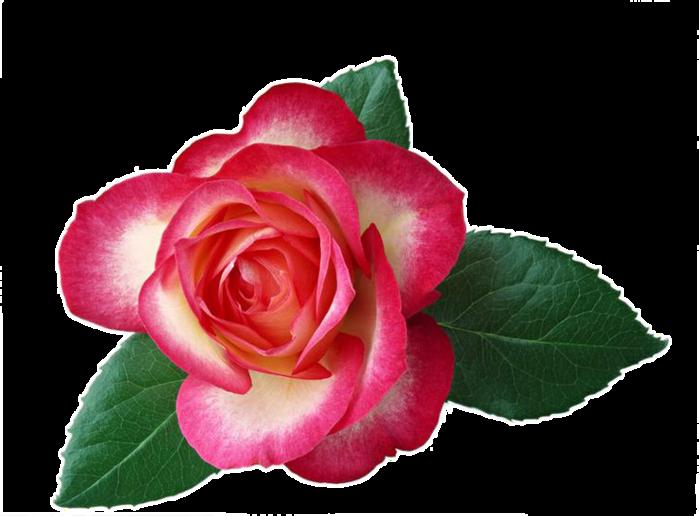 Картинки по запросу Цветок без фона