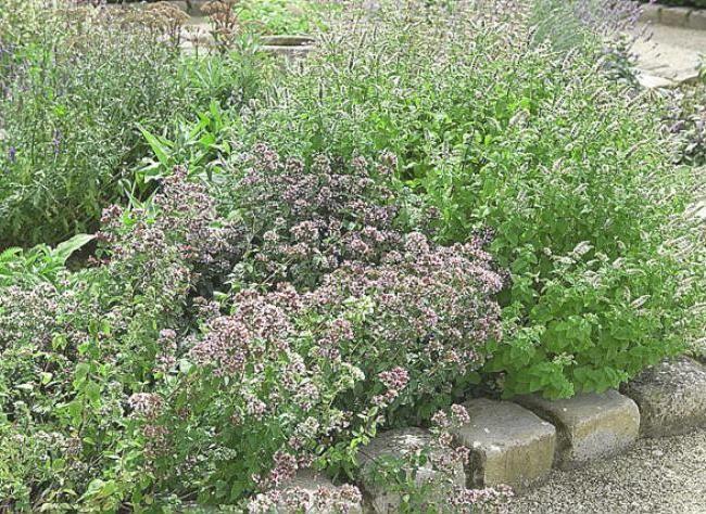 planter la marjolaine herbes aromatiques potager herbes aromatiques et carr potager. Black Bedroom Furniture Sets. Home Design Ideas