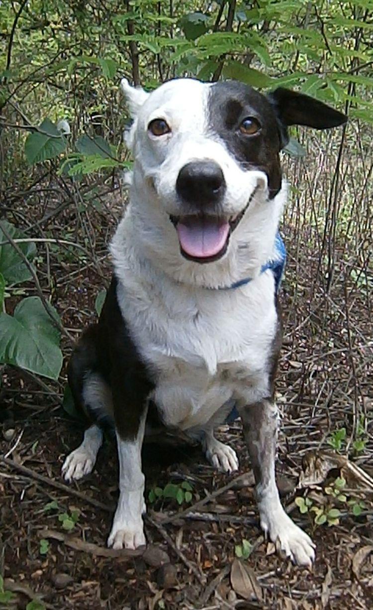 1da2ad380570844478ca8d98bfedf20e Jpg 750 1 225 Pixels Carolina Dog Dogs