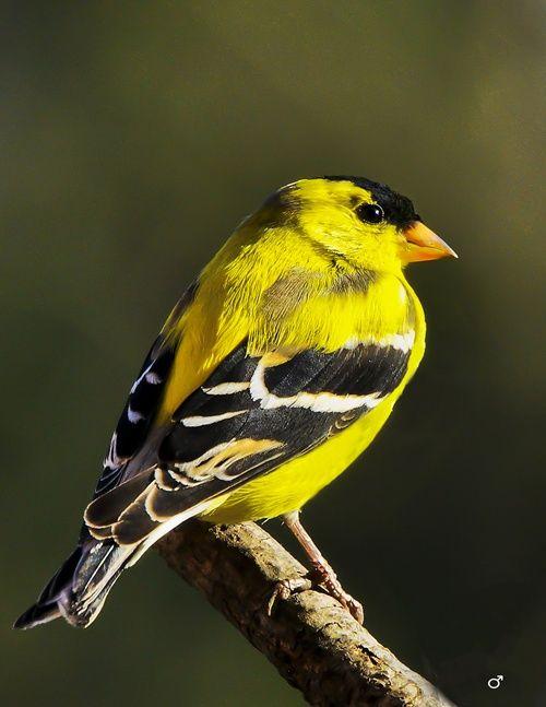 Le chardonneret est est petit oiseau jaune et noir que l 39 on voit partout sur la propri t en t - Signification des plumes d oiseaux ...