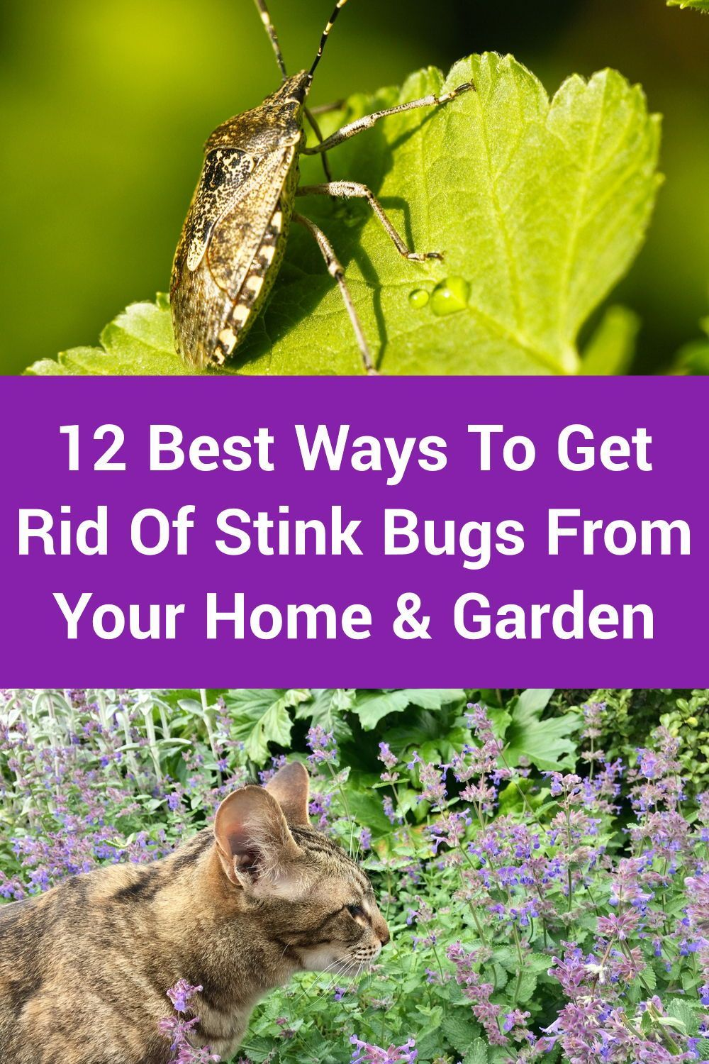 12 best ways to get rid of stink bugs from your home