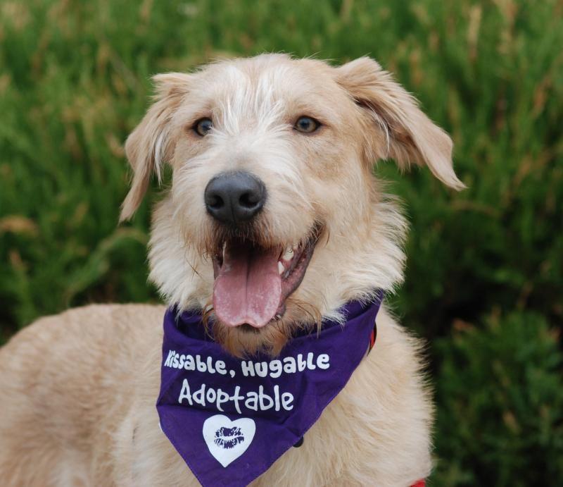 Adopt Nevada On Whippet Mix Labrador Retriever Dog Retriever Dog