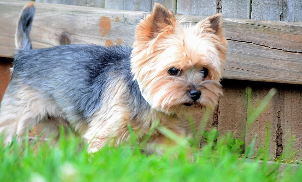 yorkie puppies for adoption in texas