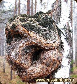 Каповая древесина, кап (дуб, орех, клен ... Сувель Березы