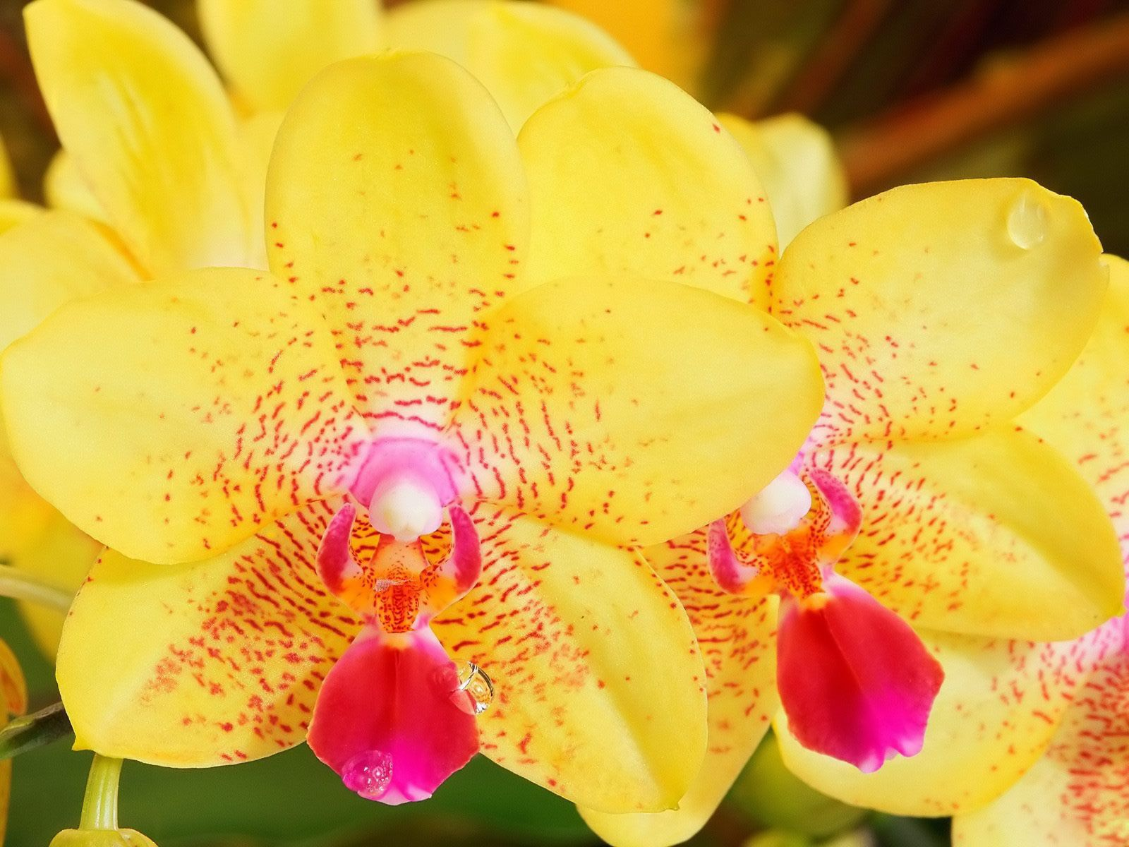 Exotic yellow flowers wallpaper de fleurs exotique orchide jaune exotic yellow flowers wallpaper de fleurs exotique orchide jaune mightylinksfo