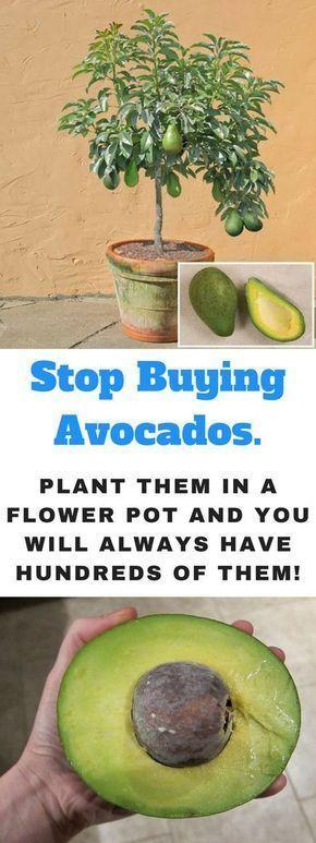 Wie man einen Avocado-Baum in einem kleinen Topf zu Hause wachsen lässt -