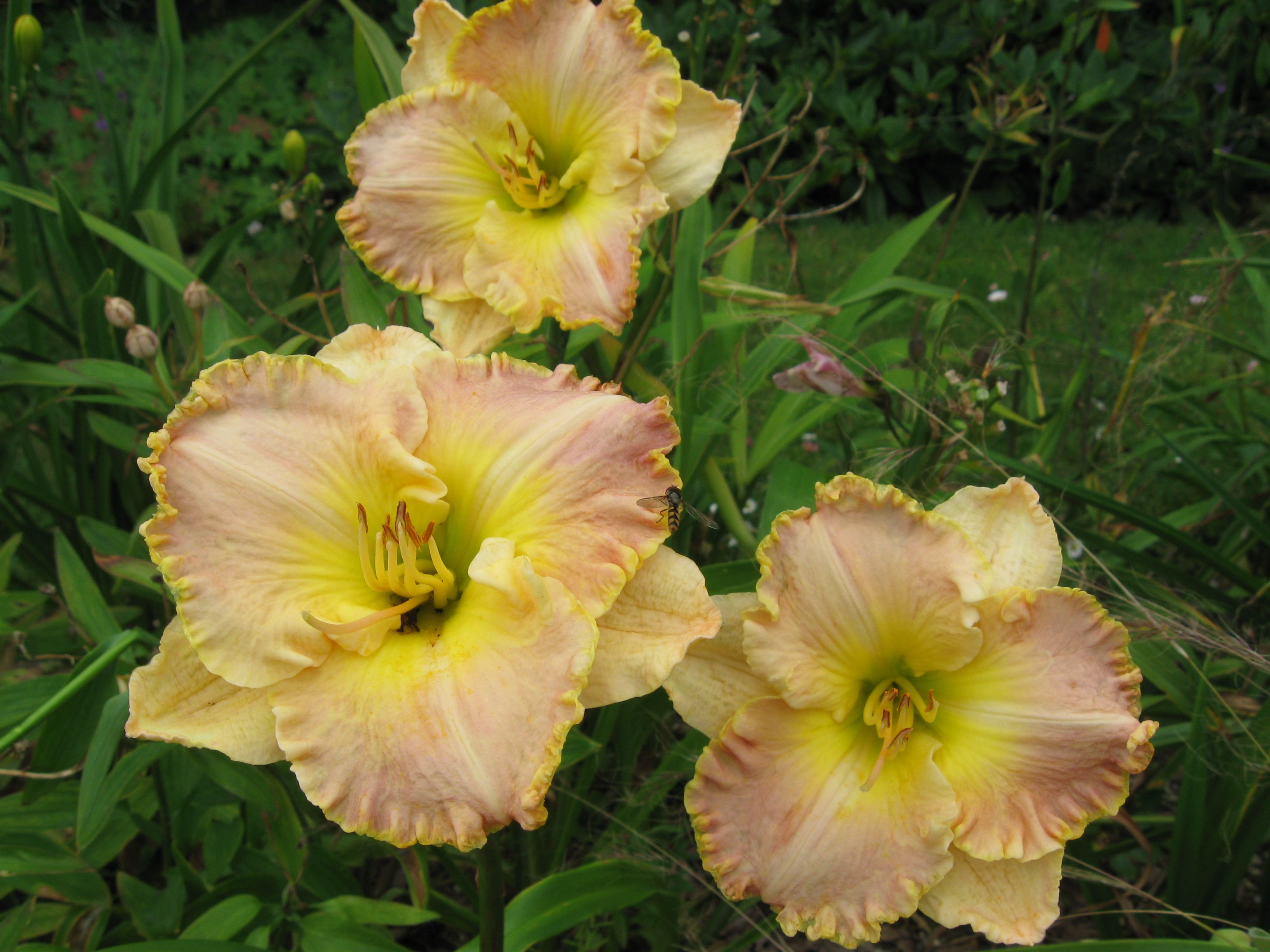 Great edged ruffled daylily ed brown daylilies pinterest great edged ruffled daylily ed brown izmirmasajfo Images