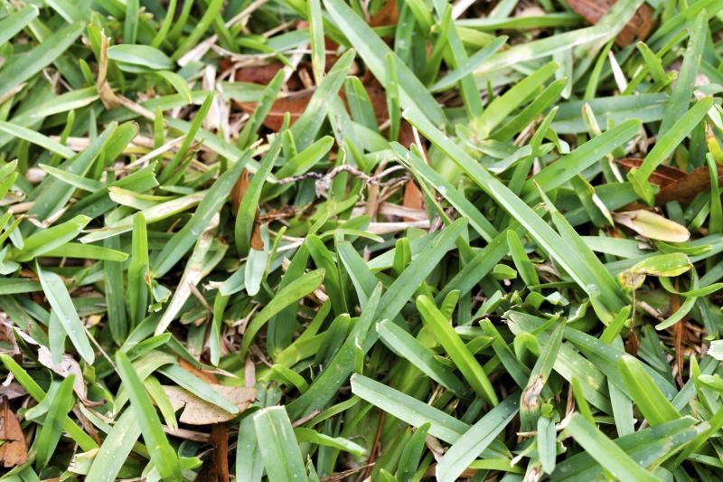 Why Is My St. Augustine Grass Yellow? St augustine grass
