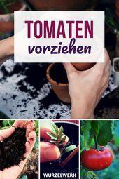 Ziehen und stechen Sie selbst starke Tomatenpflanzen – und machen Sie es so! Warum du Tom …   – Tomaten pflanzen
