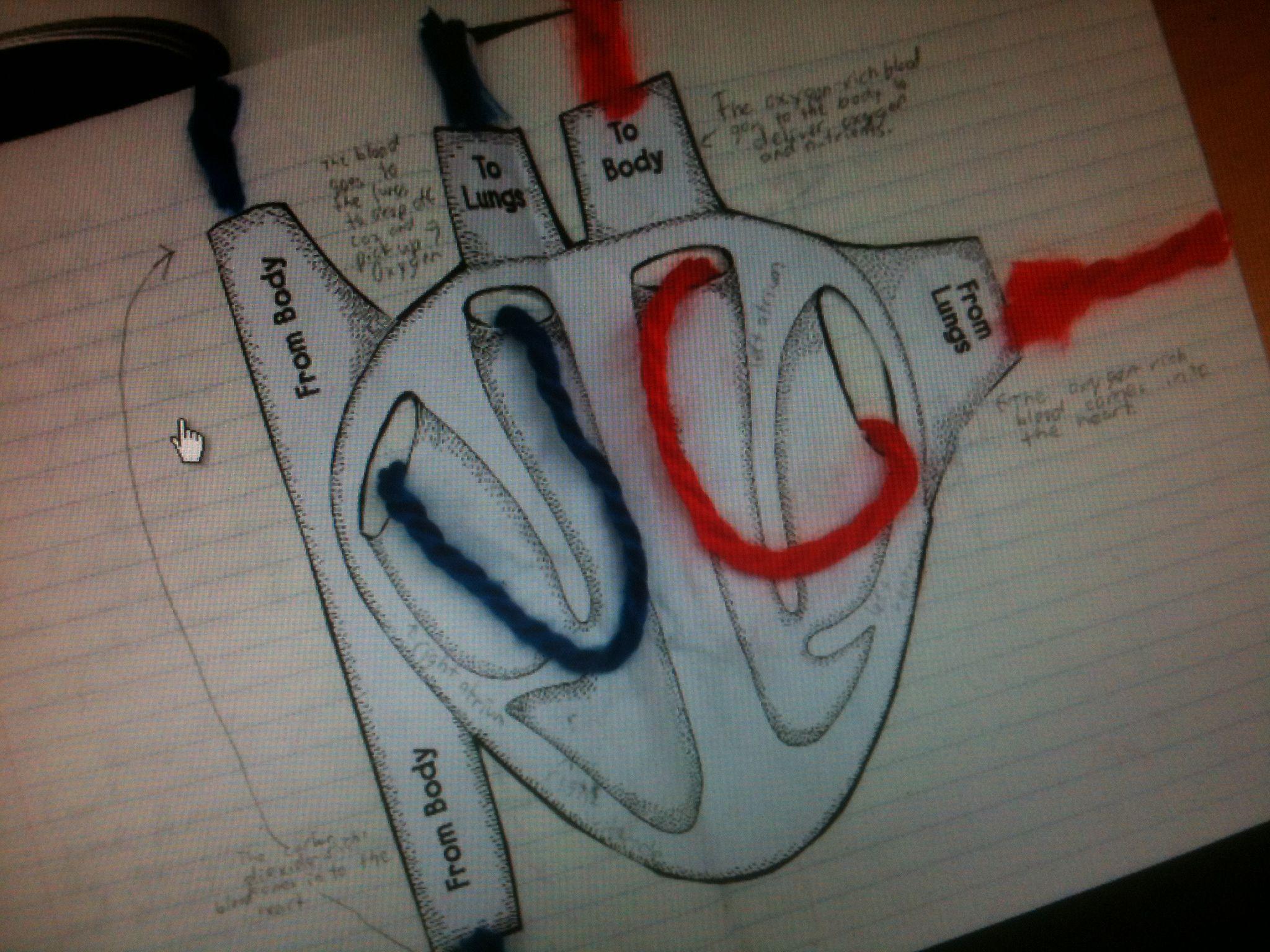 Circulatory System Project Ideas