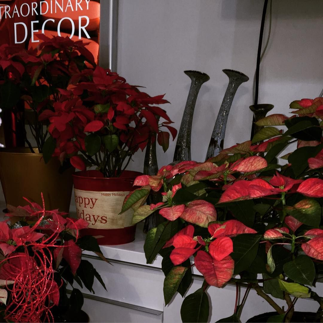 Poinsettias Now On Sale We Are Open From 10 Am To 6 Pm In 2020 Flora Design Poinsettia Flora