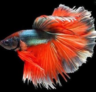 Smart Safe Zone 100 Best Ornamental Fish Photo Betta Fish 1 Ikan Cupang Betta Ikan