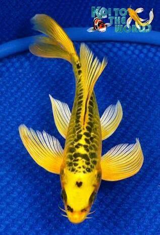 Koi Fish Koi Fish Koi Carp Koi Fish Pond