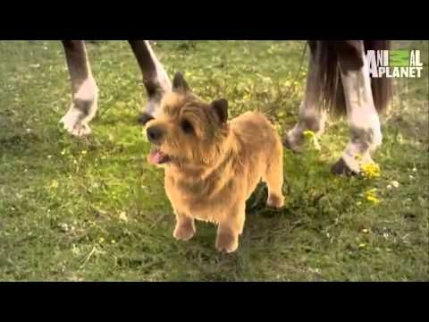 Dogs 101 Norwich Terrier Norwich Terrier Dogs 101 Dog Breeds