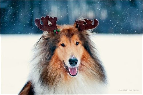 Reindeer Collie Animals Pet Photographer Collie Dog