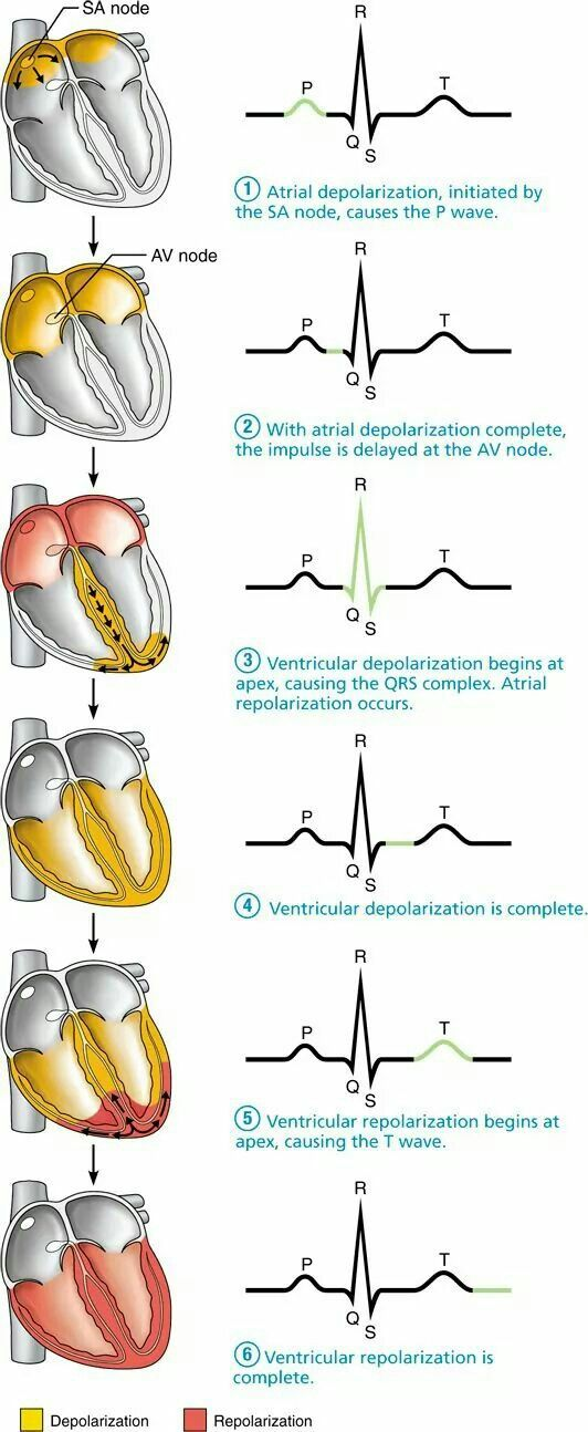f859f5893f07083361e2b5b2ae7c3e97 excellent visual on how the heart beats and what wave segment