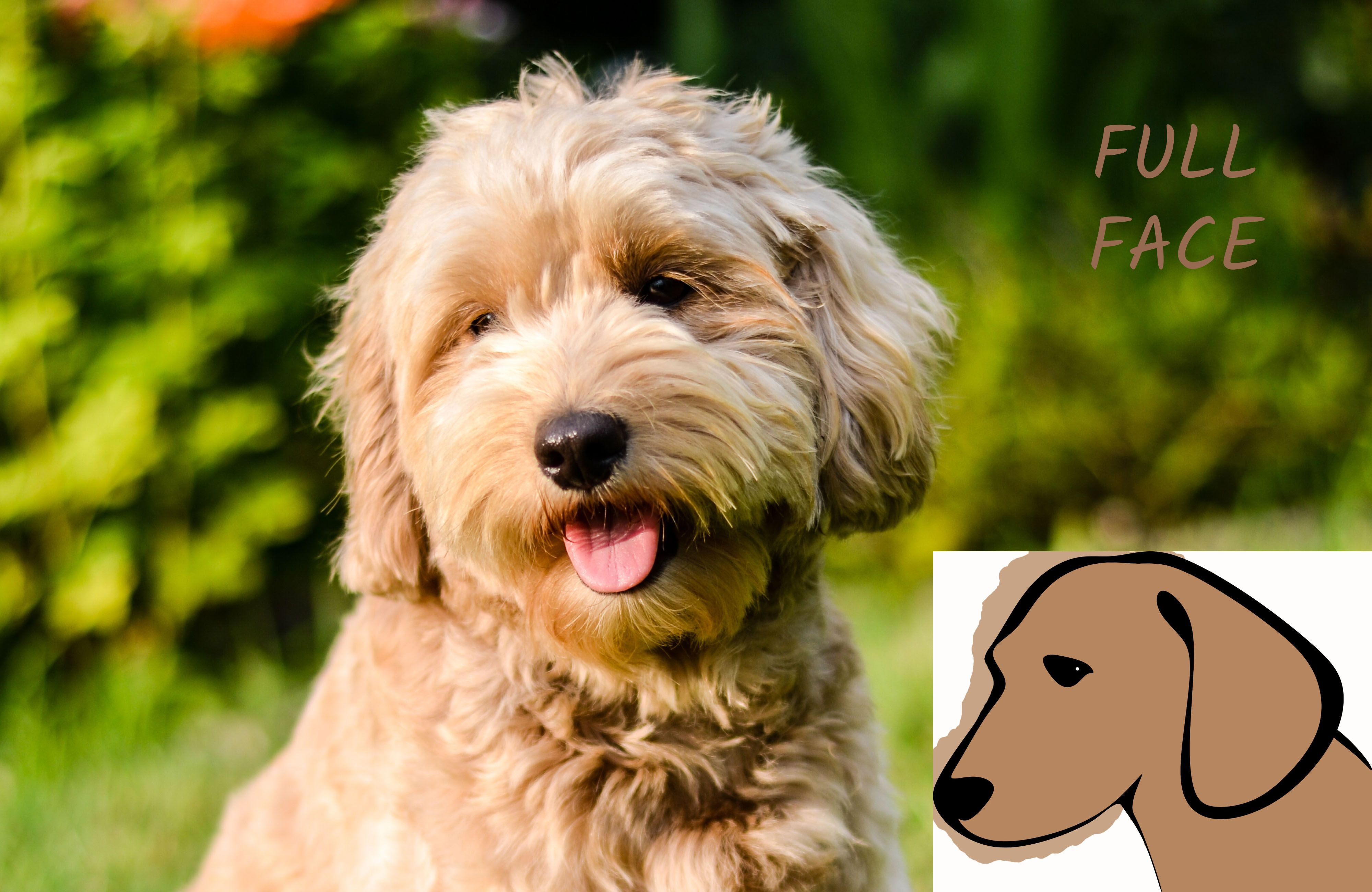 Face clips goldendoodle puppy time goldendoodle grooming