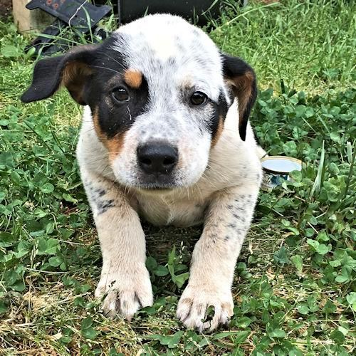 Adopt Melbourne on Pets, Australian cattle dog, Puppies