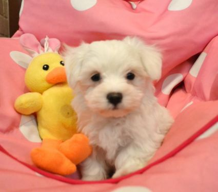 Akc Male Maltese Cute Puppy Pictures Cute Puppies Akc