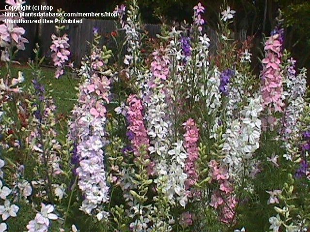 Rocket Larkspur Consolida Ambigua Larkspur Rock Garden Plants Plants