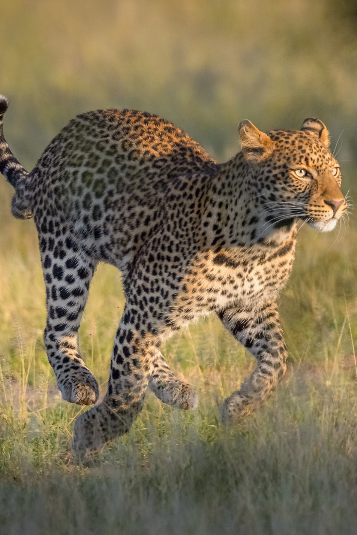 How Fast Can a Leopard Run? It's Slower than Most of Its Prey