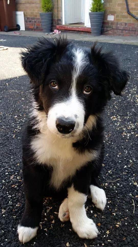 Idea By Barbara Rathmanner On Border Collie Collie Puppies Dogs Spirit Animal
