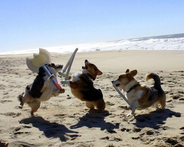 Or Fight In Battles Corgi Funny Animals Corgi Funny