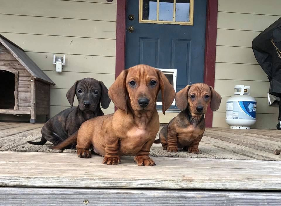The Crew Music Indieartist Chicago Dachshund Dog Dachshund