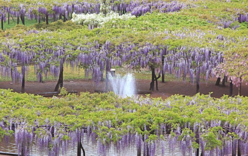 Wisteria garden in Shirai Omachi Fuji kaen park, Hyogo, Japan ...