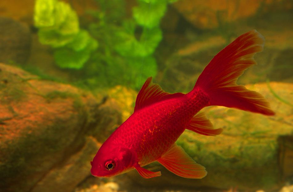 red goldfish red comet goldfish Fish, Cool fish