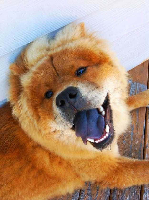 Chow Chow Dogs And Puppies Chow Chow Dogs Chow Dog Breed Chow Chow