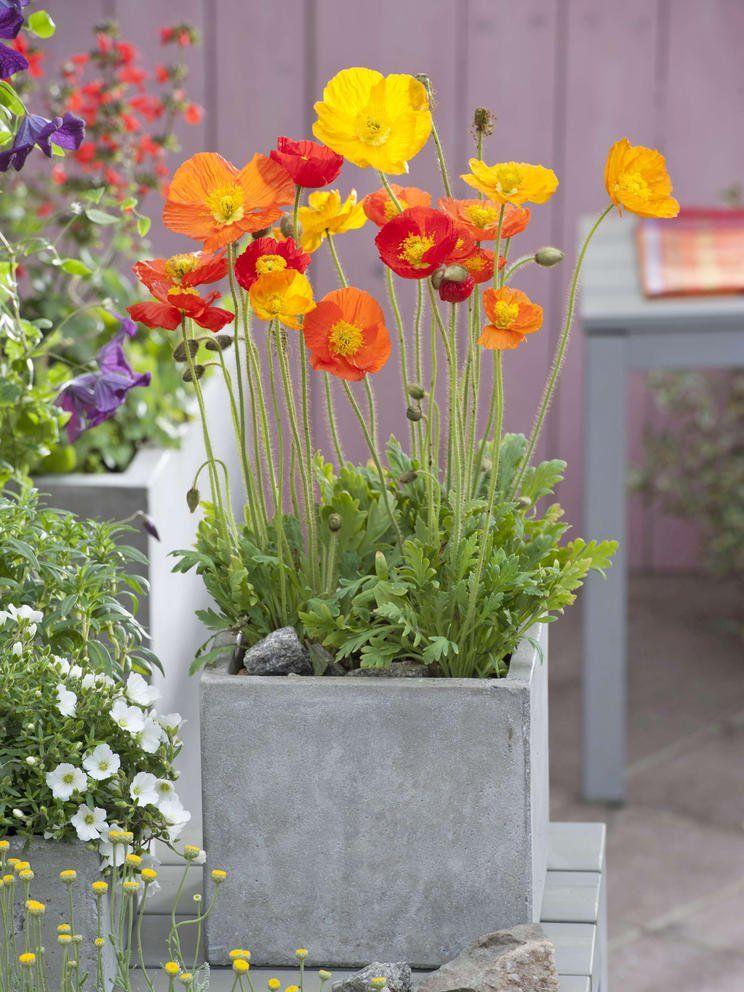 Islandmohn Farbtupfer Zum Verlieben Plants Container Plants Flowers Photography Beautiful