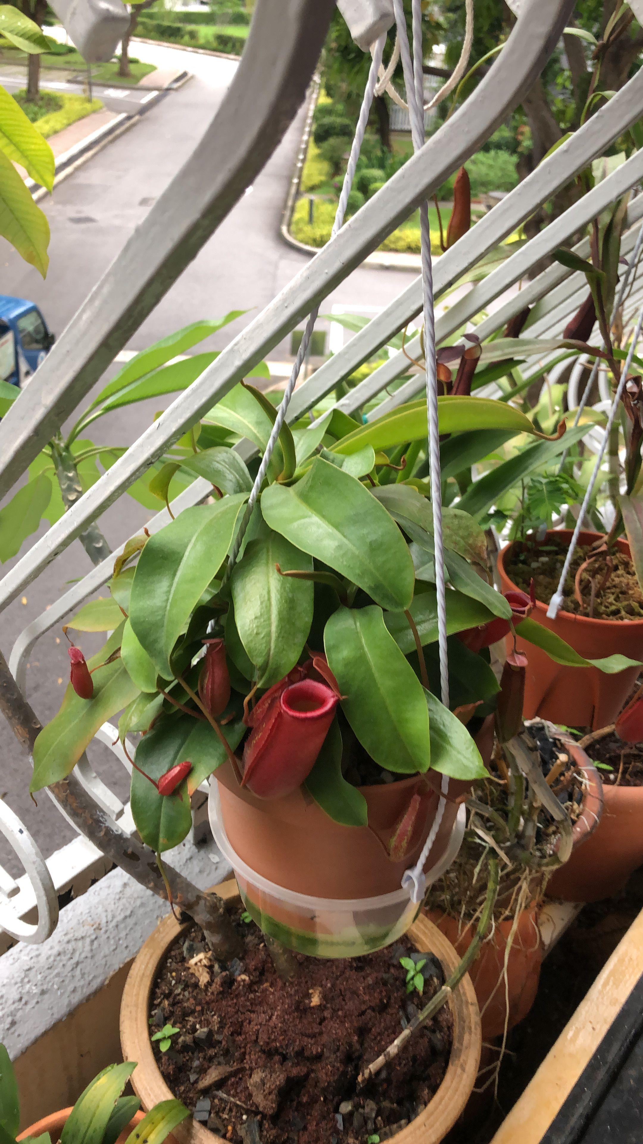 Hybrid pitcher plant singapore Plants, Pitcher plant, Garden