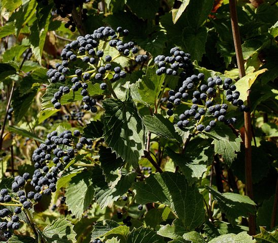 Feed Urban Birds With These Container Safe Berry Bearing Plants