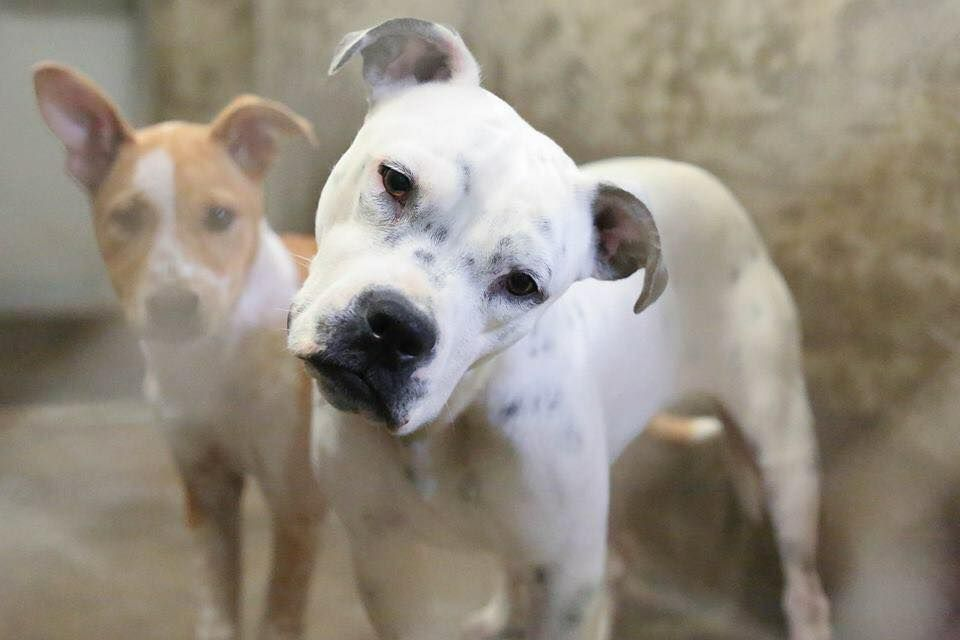 01/29/15-ODESSA SUPER URGENT- Boxer mix female 1-2 years old Kennel A5- $51 to adopt Meet this doll! She turns that head when you talk to her and makes the most adorable expressions. She is great with other dogs!! She is a medium sized dog. ADOPT/RESCUE/FOSTER Located at Odessa, Texas Animal Control. Must have a valid Drivers License and utility bill with matching address to adopt. They accept Credit Cards, cash or checks. . Please send us a PM if we can answer any questions for you.
