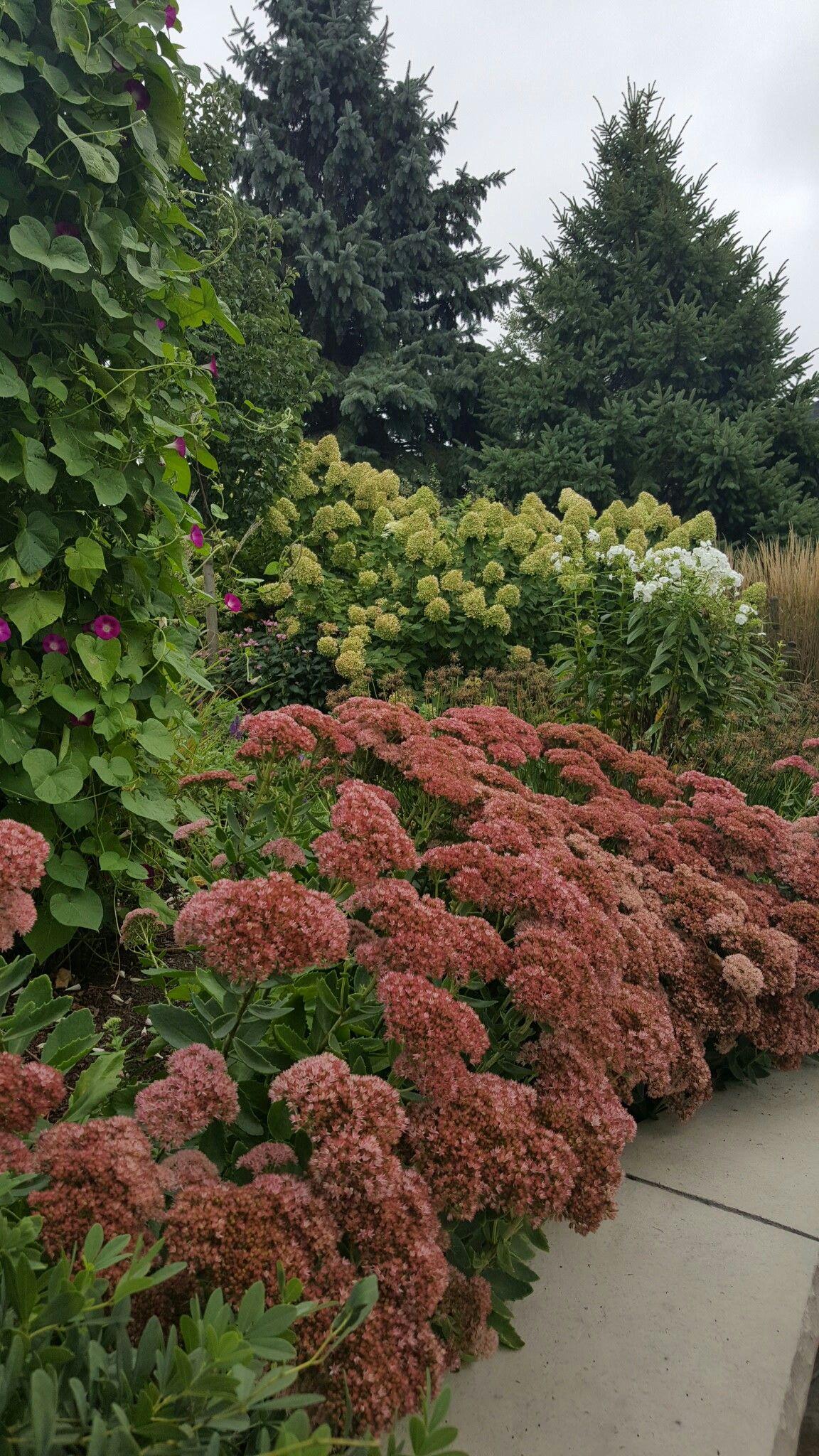 Mid Sept in the garden (Sedum \'Autumn Joy\', Morning Glory, Phlox ...