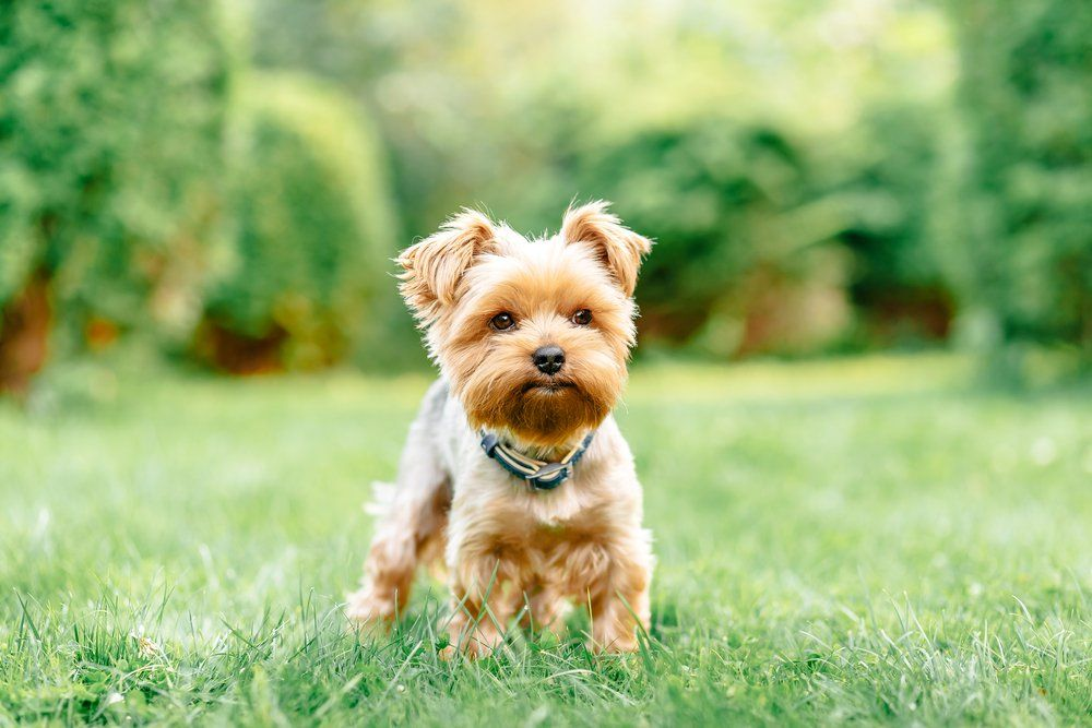 13 Of The World S Tiniest Dog Breeds Yorkshire Terrier Dog Dog