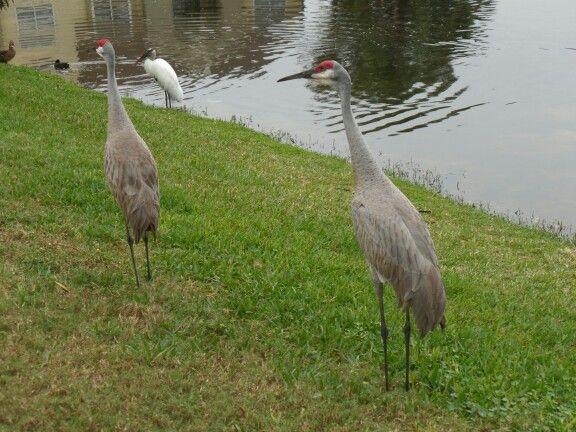 Sandhill cranes causing a ruckus.
