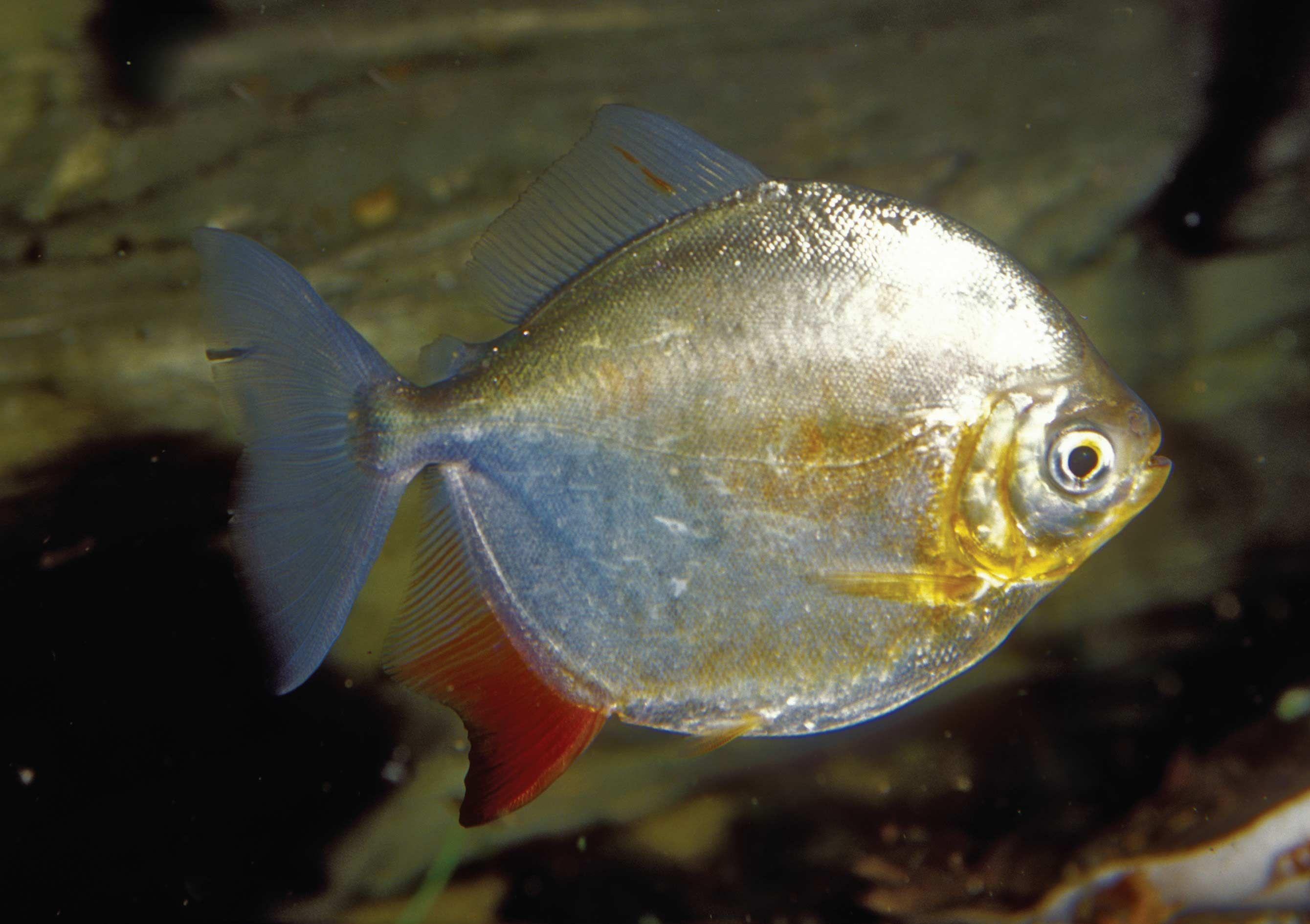 دلار نقره ای Jpg 2679 1890 Fish Pet Pets Water Life
