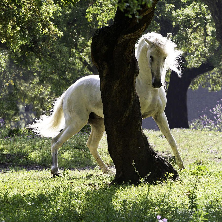 A White Lusitano stallion is behind a cork tree in Portugal, posturing as another stallion approaches his mares.