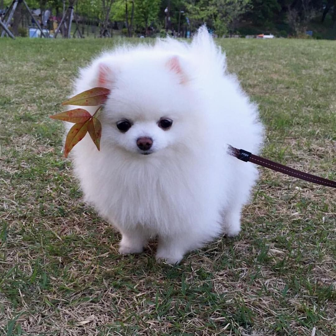 So Cute I Thought It Was Kong Cute Animals Pomeranian Puppy