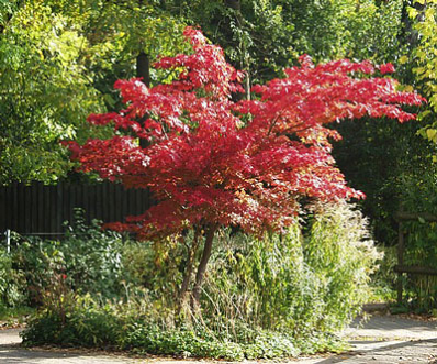 Bloodgood japanese maple acer palmatum for sale for Maple trees for sale