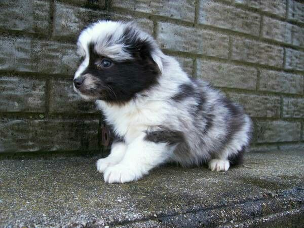 Mini aussie pup