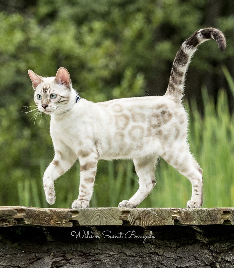 Our Silver Snow Bengal Girl Tesla Grows Up And Transforms
