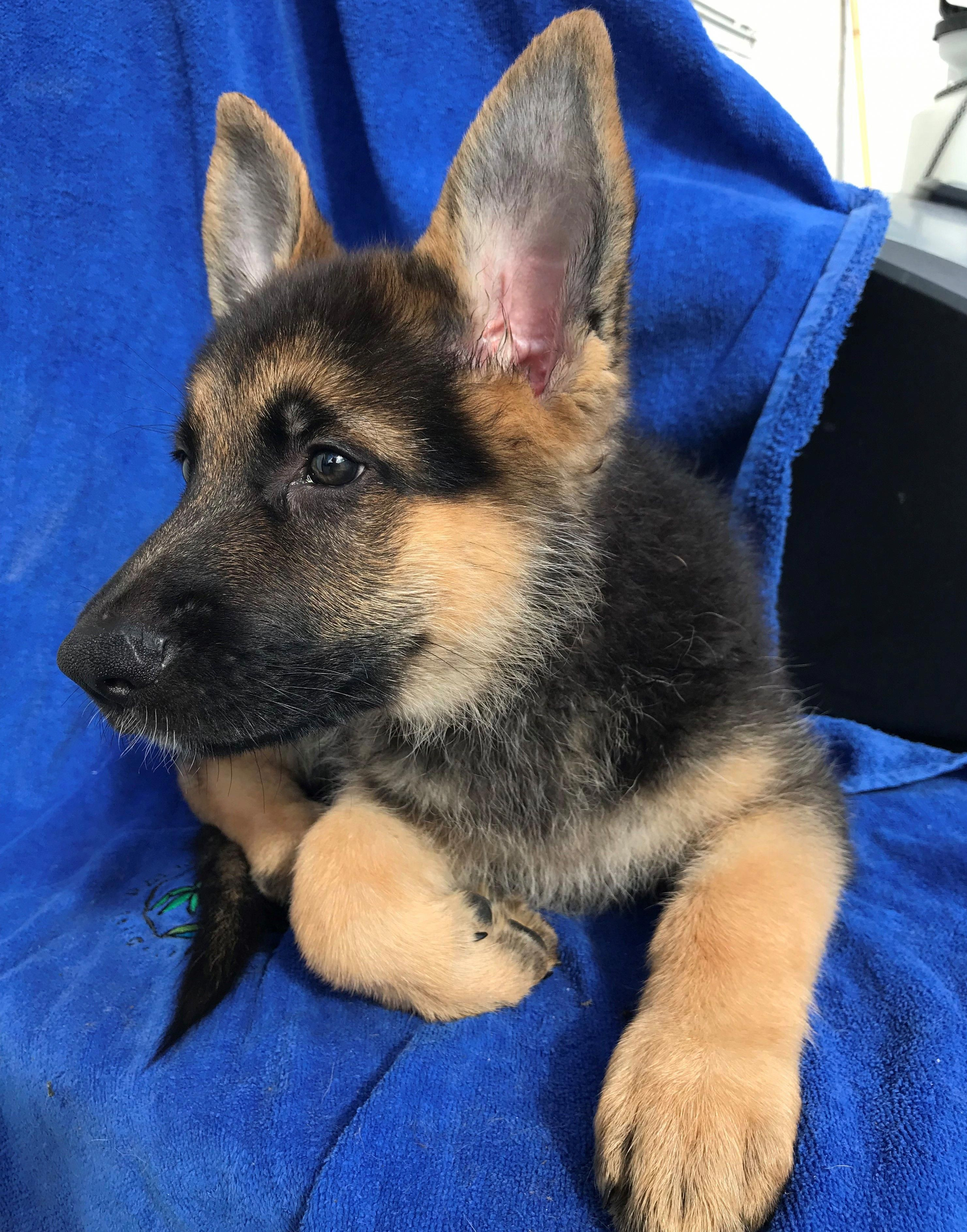 Check Out Our Site For Additional Information On German Shepherd